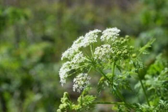Conditions have been ideal for poison hemlock to spread, and they are dangerous to handle and remove without proper safety measures