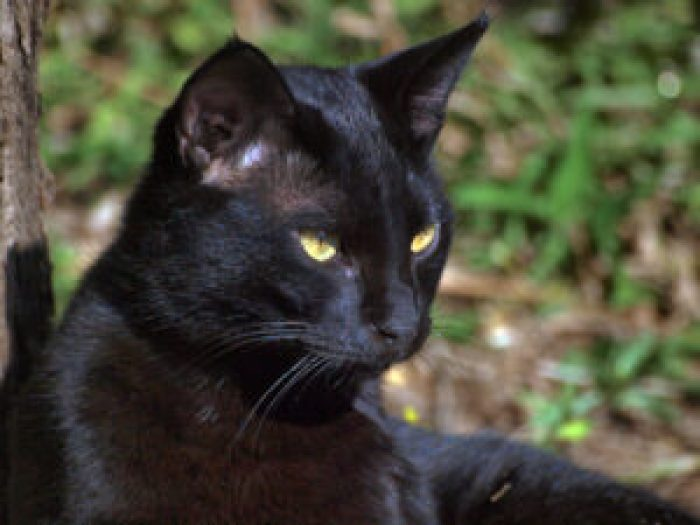 Associating black cats and bats with Halloween is a tradition steeped in religions and seasons