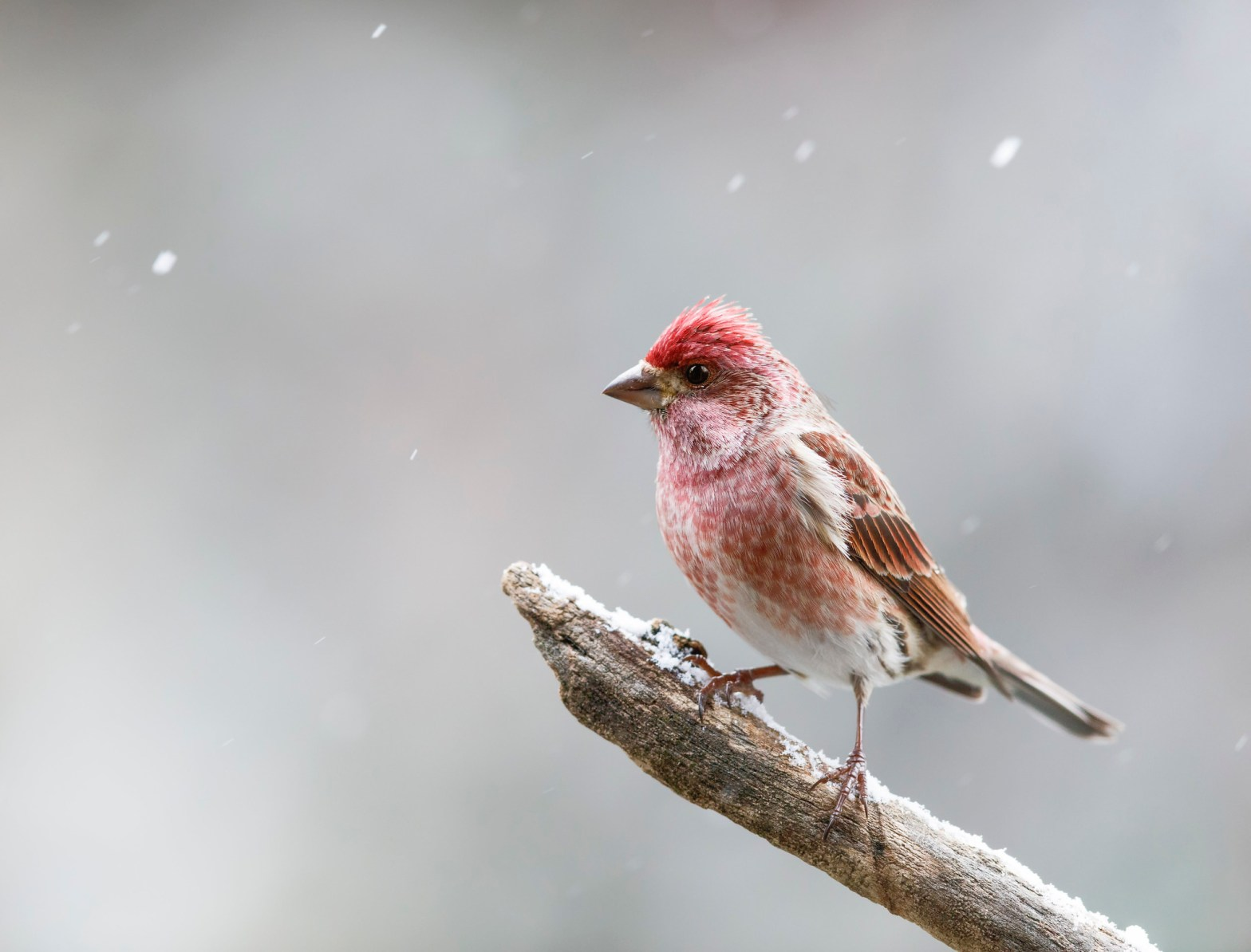 Purple Finch on a tree branch