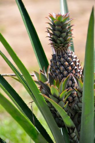 Folks, this is how a pinapple grows.