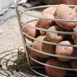The Great Potato Harvest