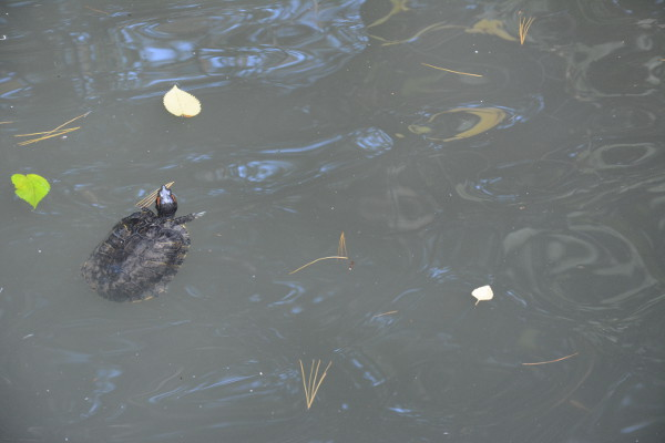 turtle-in-central-park