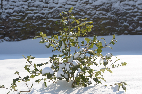 Holly in snow, close