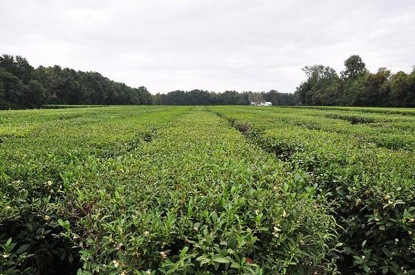 charleston tea plantation fields