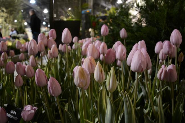 more tulips at the philadelphia flower show