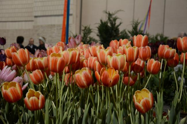 tulips at the philadelphia flower show