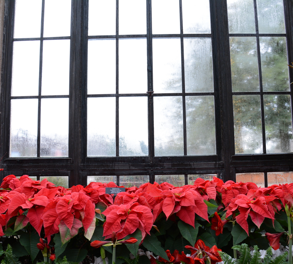 poinsettias window longwood gardens