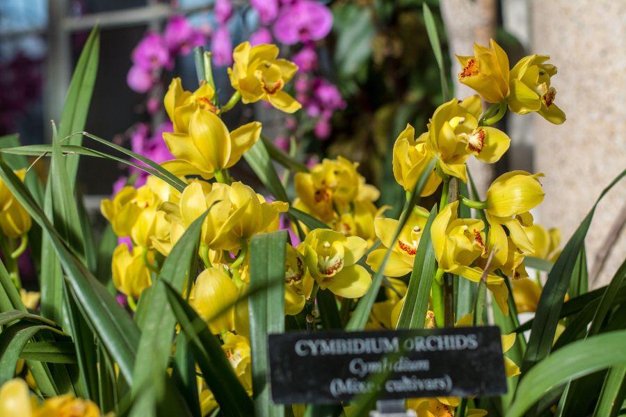 Cymbidium at Orchid Extravaganza at Longwood Gardens in Kennett Square, Pennsylvania.