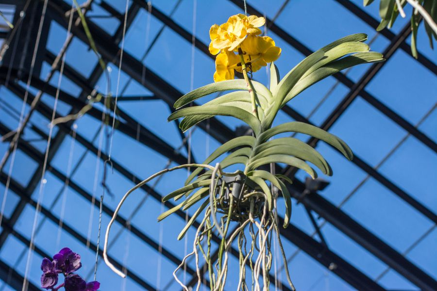 A hanging epiphytic orchid at Orchid Extravaganza at Longwood Gardens in Kennett Square, Pennsylvania.