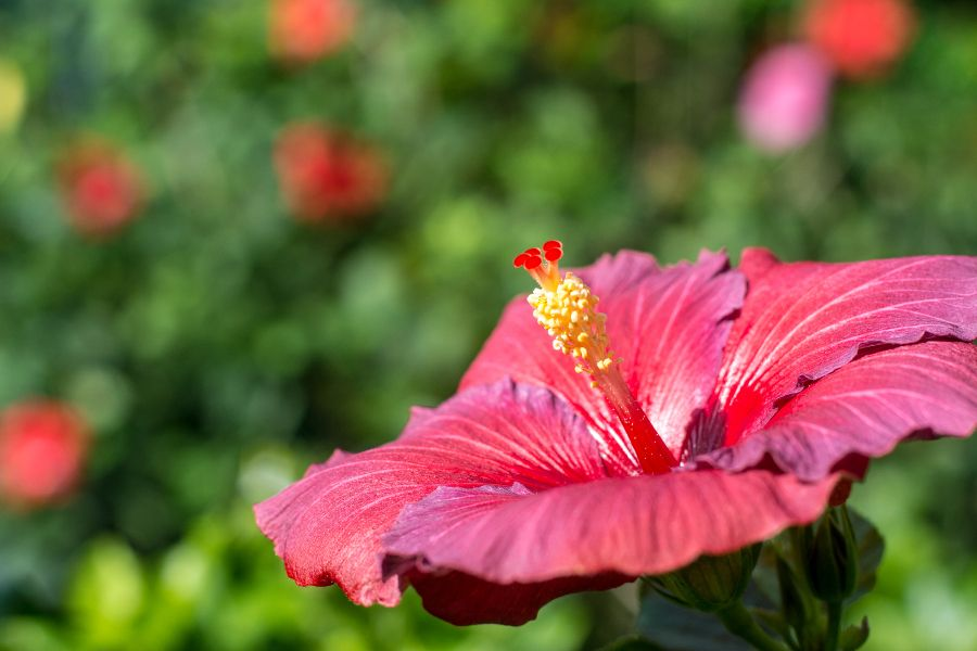 A hibiscus flower at Longwood Gardens in Kennett Square, Pennsylvania.