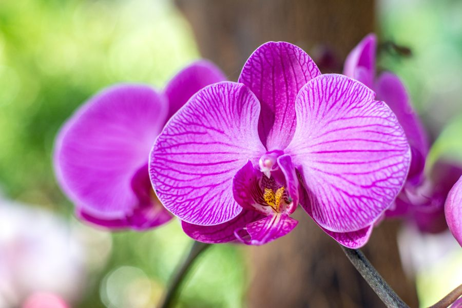 Purple orchids at Longwood Gardens' Orchid Extravaganza in Kennett Square, Pennsylvania.