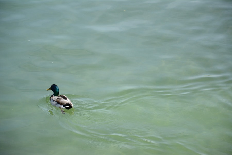 A duck swimming in Chiemsee.