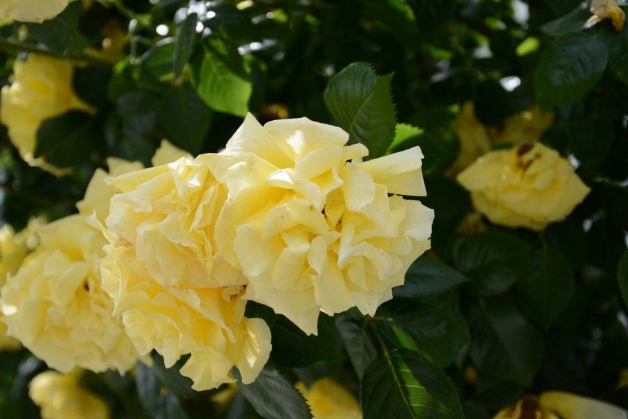 Yellow roses on the Frauenchiemsee.