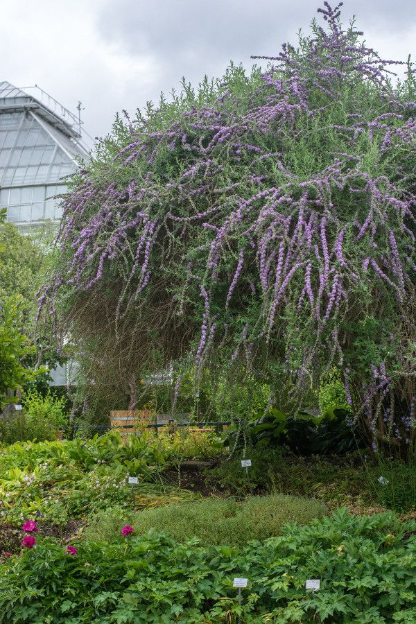 A purple flowering tree at the Munich Botanical Garden in Munich, Germany.