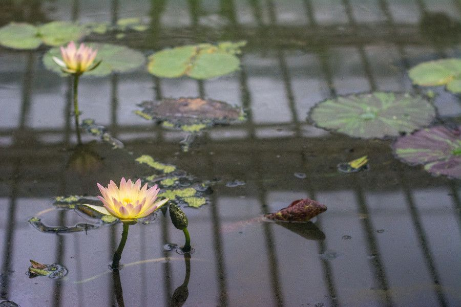 A pink yellow lotus flower surrounded by lily pads at the Munich Botanical Garden.