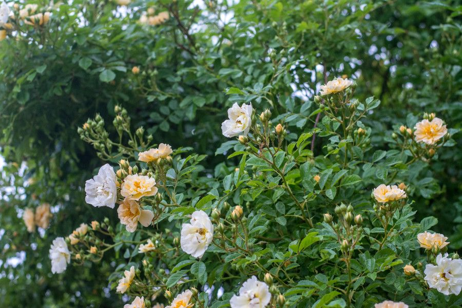 White and yellow roses in bloom at Munich Botanical Garden.