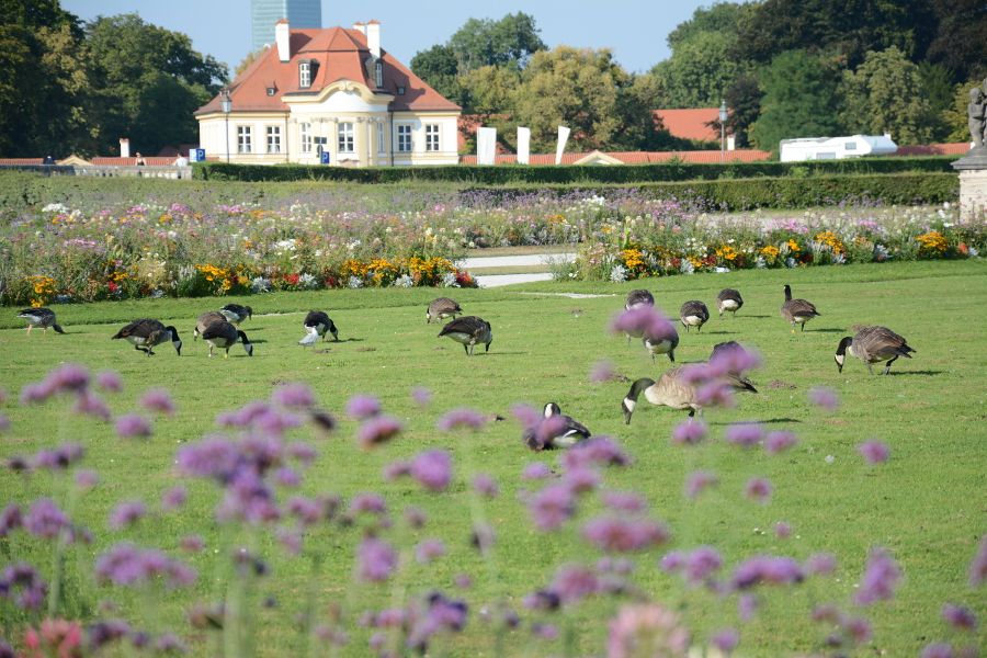 Geese outside of Nymphenburg Palace in Munich, Germany.