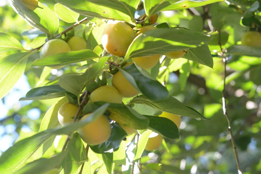 A fruit tree at the National Arboretum.