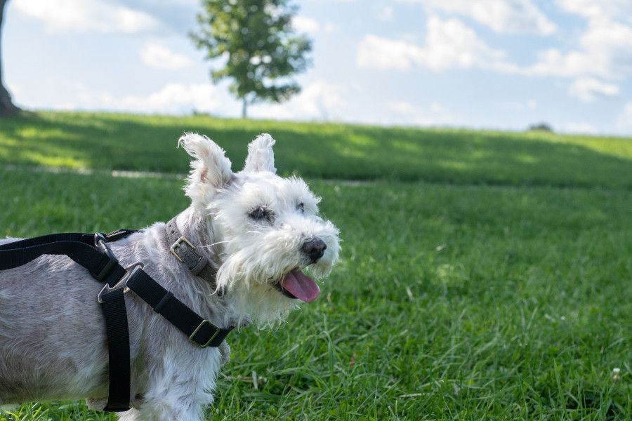 George, the mini schnauzer, looks out over Valley Forge.