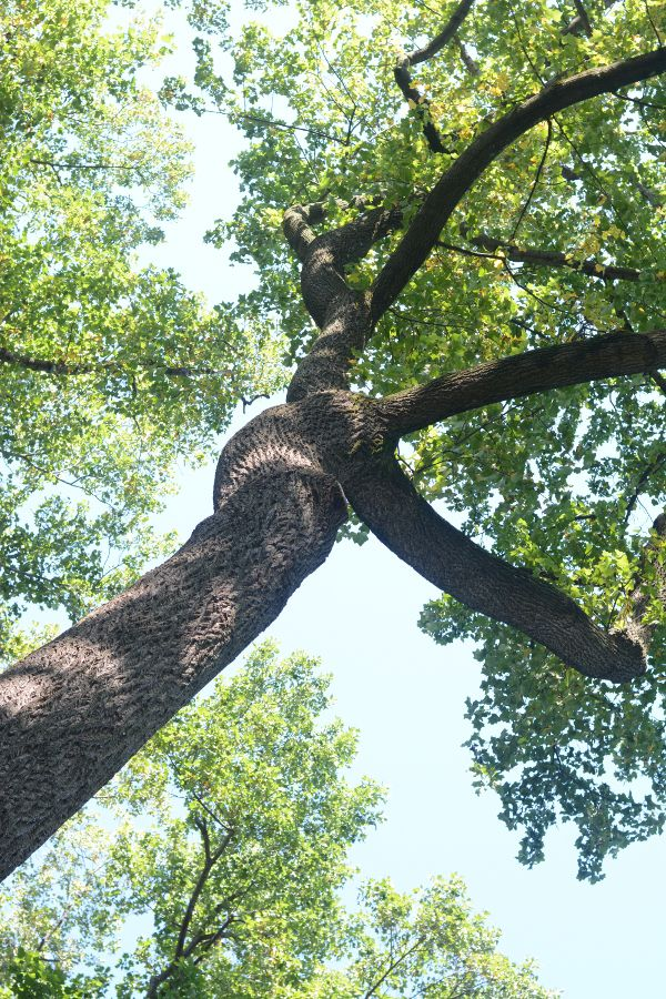 Looking up a tree at the National Arboretum.