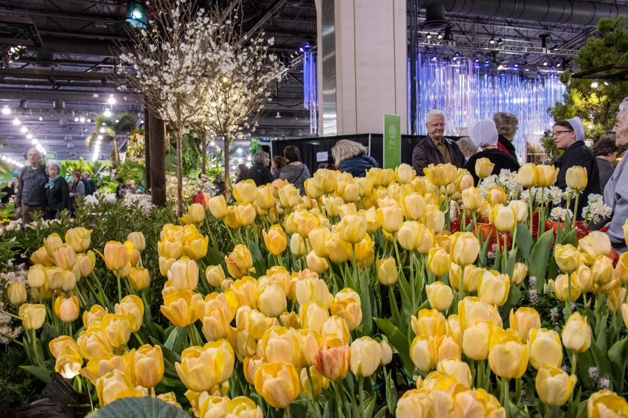 Yellow tulips at the Philadelphia Flower Show 2018.