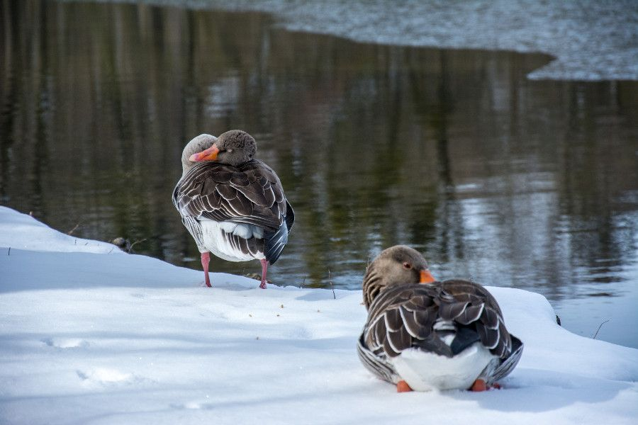 Not only humans want to keep warm! Ducks take a nap in the snow at Nymphenburg Park in Munich, Germany.