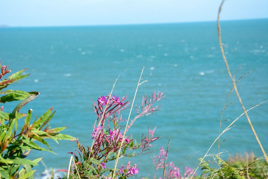 Wild flowers on a cliff overlooking the sea in Howth, Ireland.
