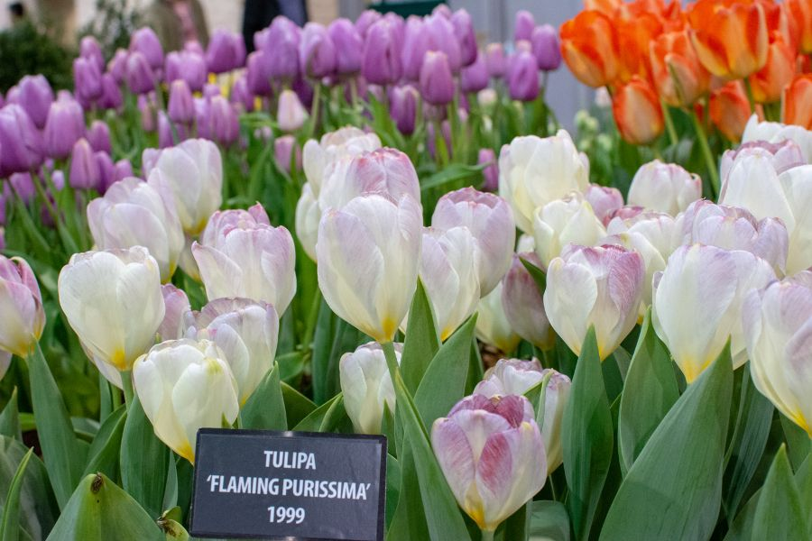 Flaming Purissima tulips.