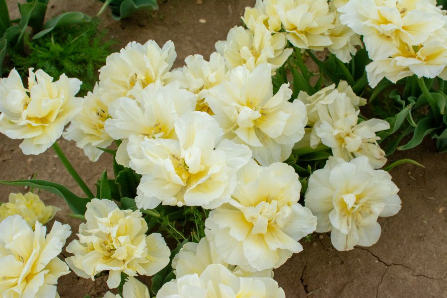 Delicate pale yellow tulips.
