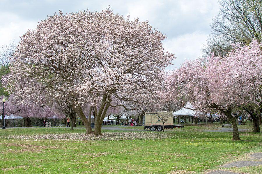 Flowering trees in Philadelphia's Fairmount Park.