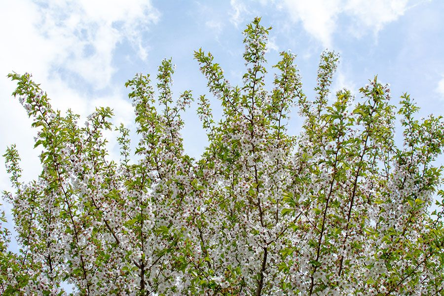 The tops of blooming cherry trees.