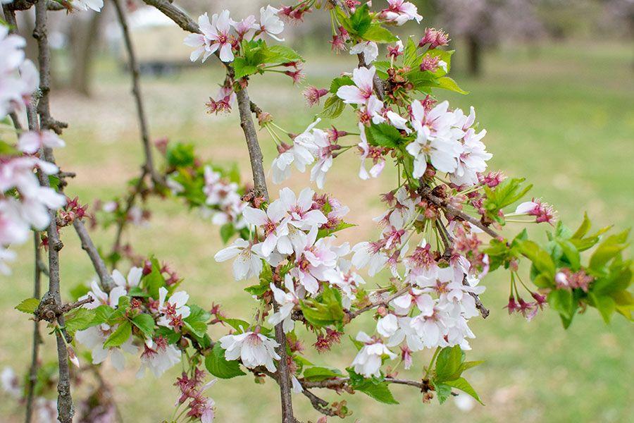 Cherry blossoms close up.