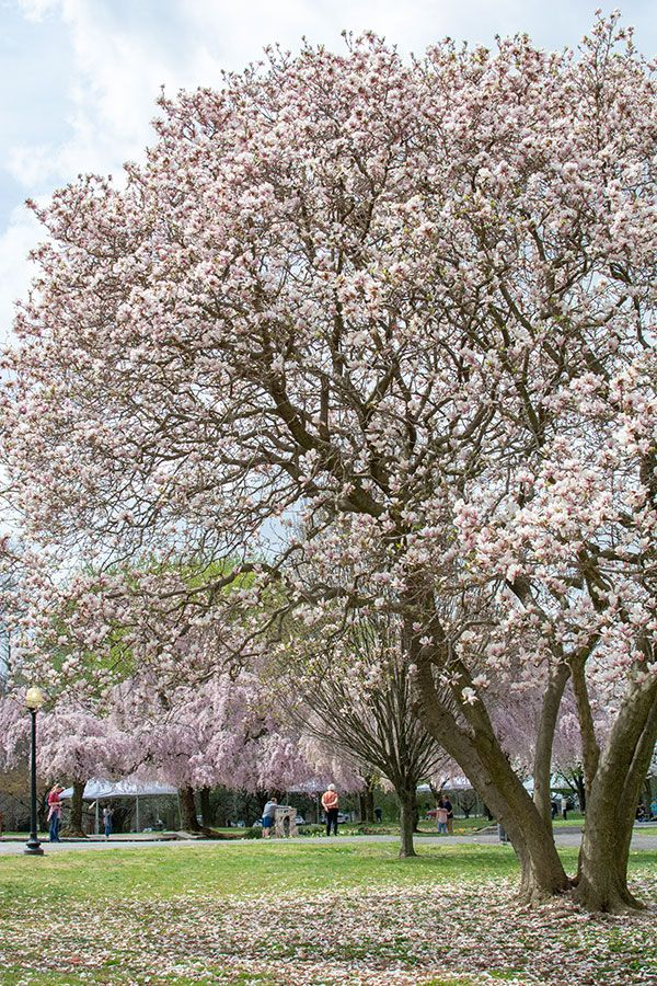 Blooming magnolia trees in Philly's Fairmount Park.