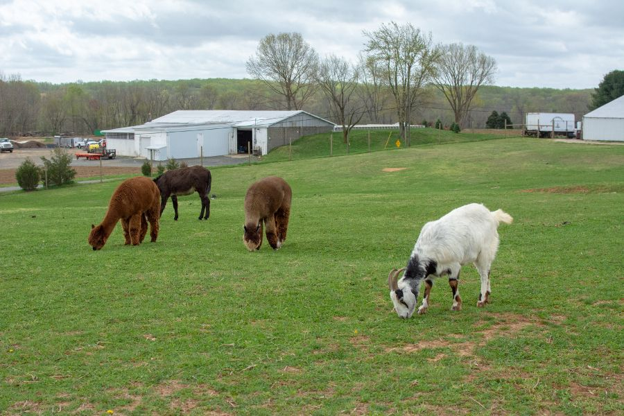 Goats, alpaca, and other animals at Holland Ridge Farm.