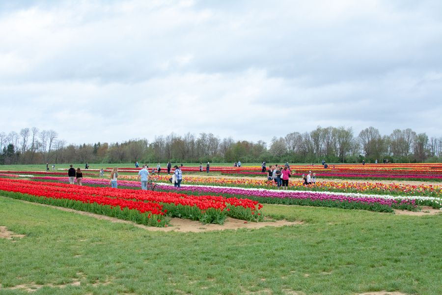 Acres of tulip fields at the Holland Ridge Farms Tulip Festival in New Jersey.