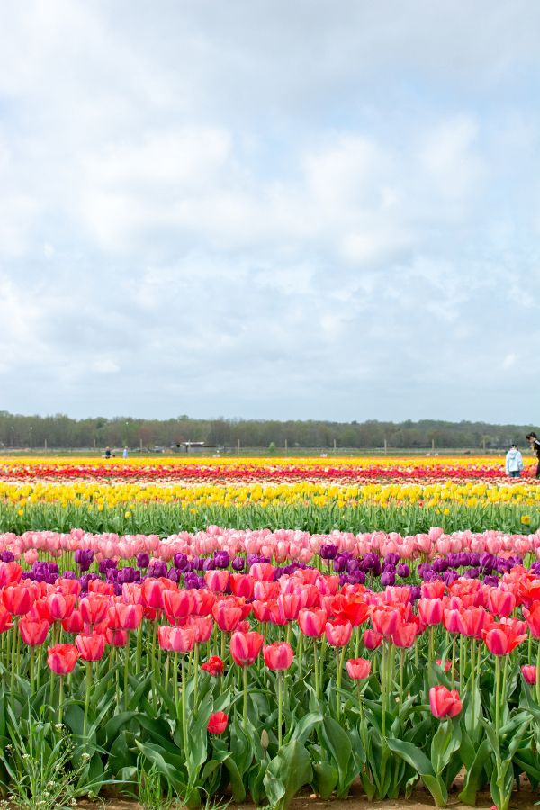 Tulip fields at the Holland Ridge Farms Tulip Festival in New Jersey.