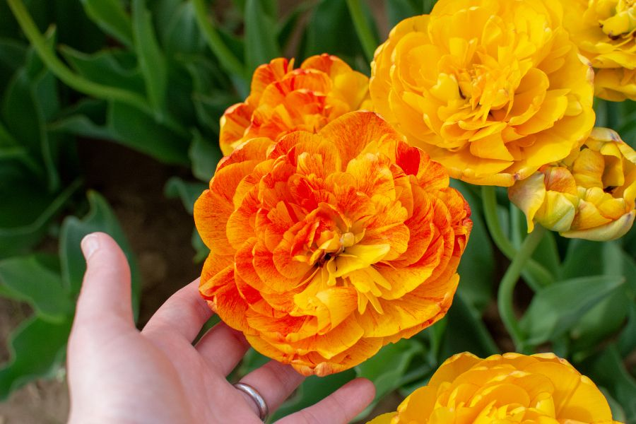 Larger than your hand: orange and yellow tulips.