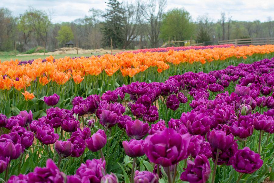 A field of orange and purple tulips.