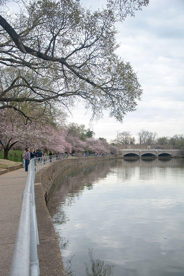 Cherry blossoms line the sidewalk along the Tidal Basin.