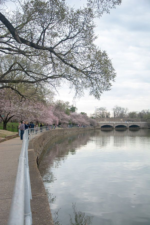 Cherry blossoms line the sidewalk along the Tidal Basin.