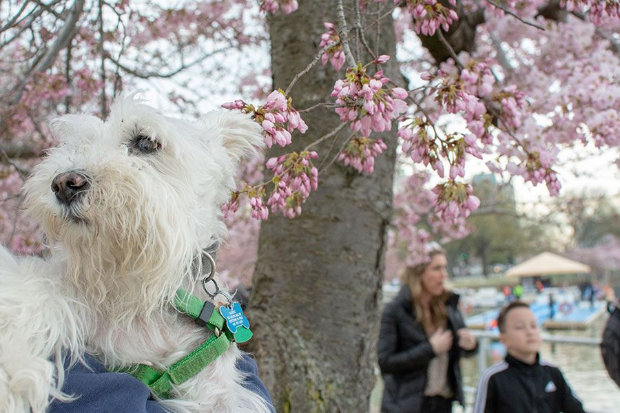Dogs are welcome along the Tidal Basin, especially during the cherry blossom season.