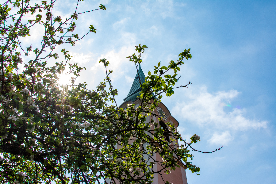 A steeple peeks out from behind a flowering tree in spring at Kloster Weltenburg.
