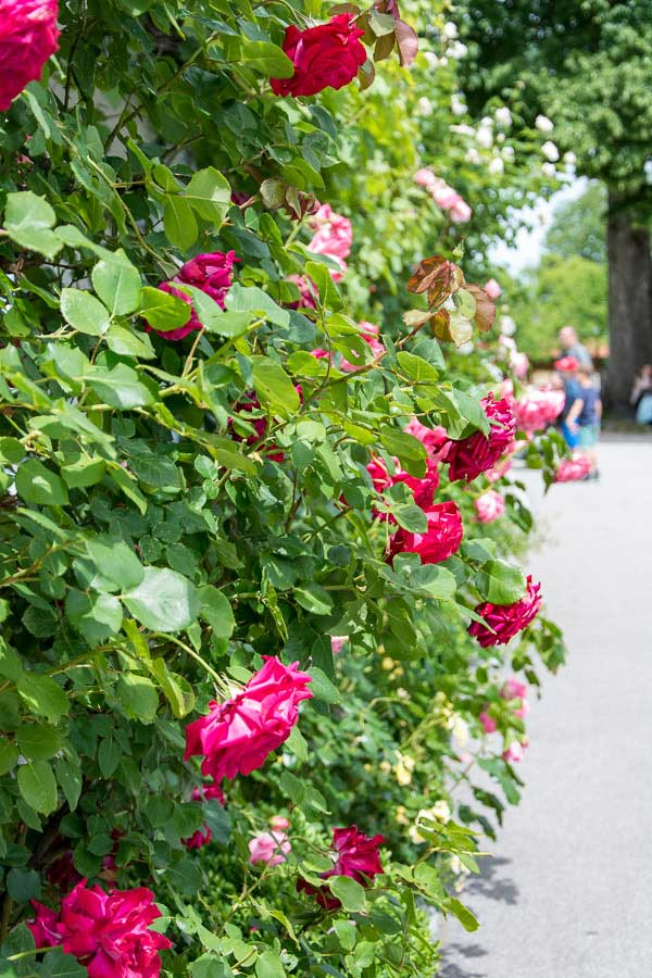 Roses on the Fraueninsel or Frauenchiemsee.