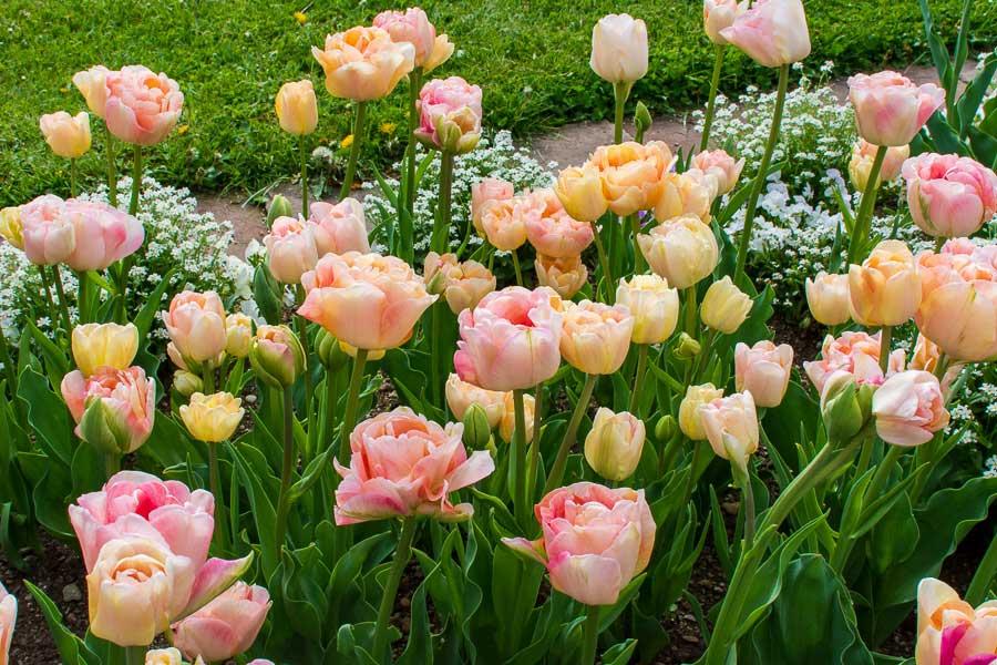 Beautiful tulips at the Munich Botanical Garden.