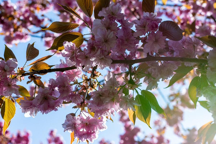 Cherry blossoms at Hershey Gardens.