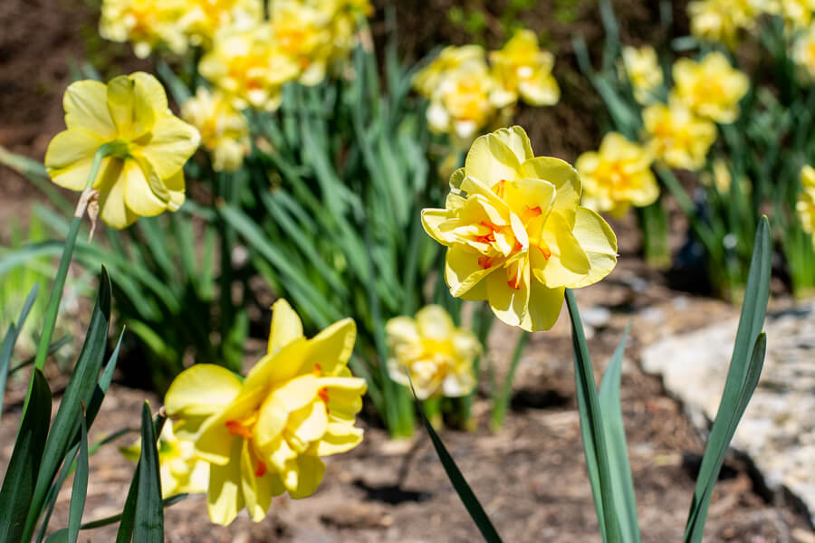 Daffodils in bloom at Hershey Gardens.