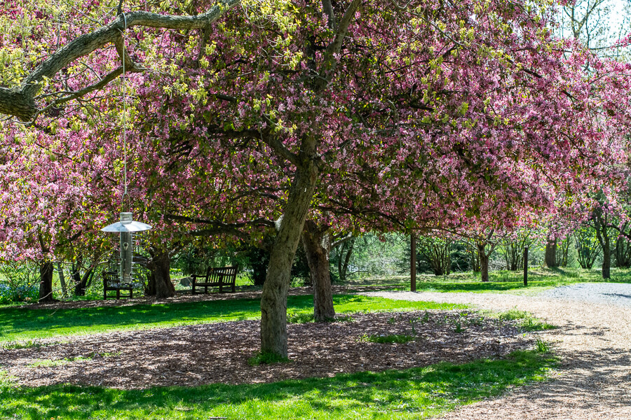 A cherry tree in bloom at Hershey Gardens.