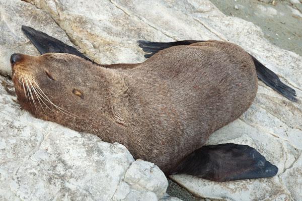 Un phoque à Kaikoura Nouvelle Zélande