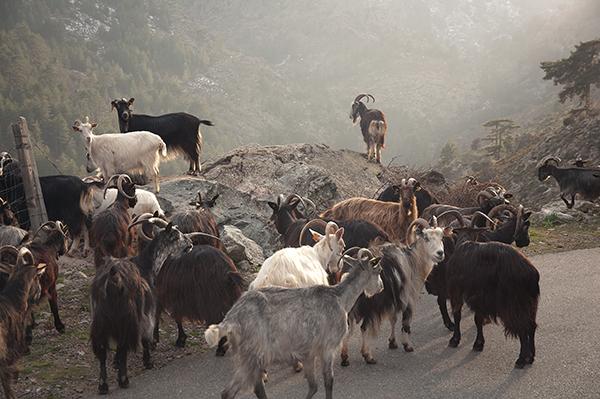 Chèvres corses