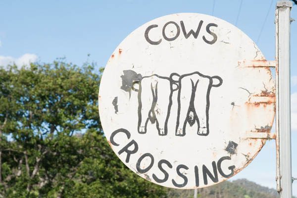 Cows crossing Tasmanie